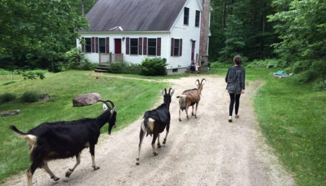 Man's Second-Best Friend: The Domestic Goat