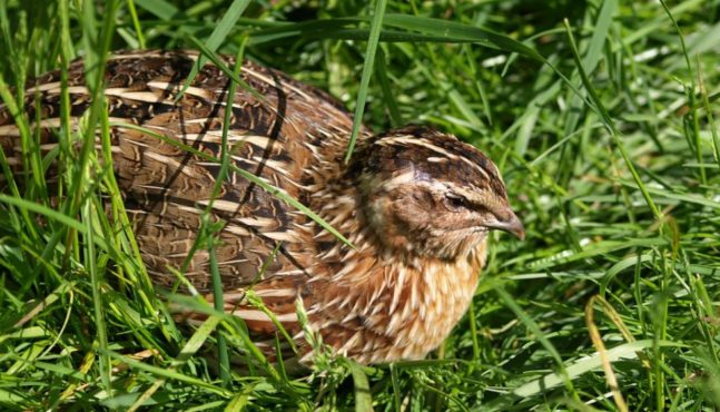 Raising Quail for Eggs and Meat